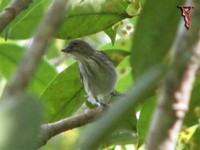 Thick-billed Flowerpecker(Dicaeum agile)