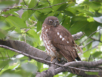 솔부엉이 Ninox scutulata | brown hawk-owl