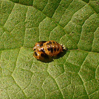 Harmonia axyridis - Asian Lady Beetle