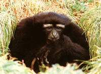 photograph of hoolock gibbon