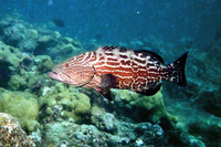 Mycteroperca bonaci, Black grouper: fisheries, gamefish, aquarium