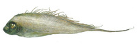 Zu cristatus, Scalloped ribbonfish: