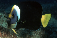 Chaetodontoplus meredithi, Queensland yellowtail angelfish: