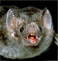 Image of: Desmodus rotundus (vampire bat)
