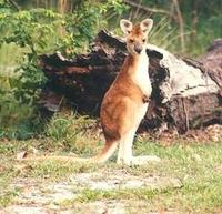Image of: Macropus antilopinus (antilopine wallaroo)