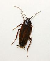 Image of: Blatta orientalis (black beetle and water bug)