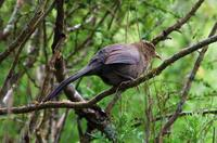 Image of: Garrulax davidi (plain laughingthrush)