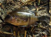 Vieja intermedia - Northern Checkmark Cichlid