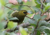 Mountain Black-eye - Chlorocharis emiliae