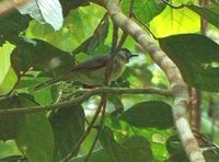 Black-crowned Babbler - Stachyris nigrocapitata