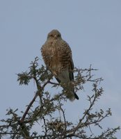 Greater Kestrel - Falco rupicoloides