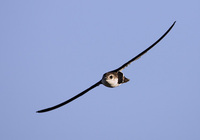 White-throated Swift (Aeronautes saxatalis) photo