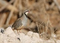 Chukar (Alectoris chukar) photo