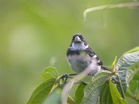 Wing-barred Seedeater - Sporophila americana