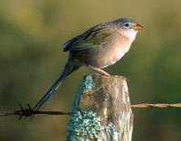 Wedge-tailed Grass-Finch, Emberizoides herbicola