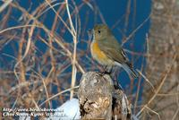 Fig. 1. Red-flanked Bluetail : 유리딱새