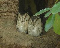 Indian Scops-Owl, Otus bakkamoena