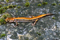 : Plethodon larselli; Larch Mountain Salamander