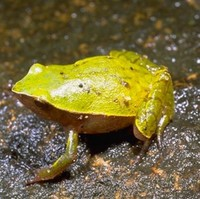 : Plethodontohyla notosticta; Ground Rain Frog