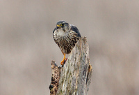 : Falco columbarius; Merlin