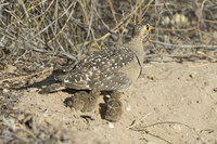 : Pterocles bicinctus; Double Banded Sandgrouse