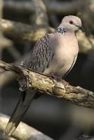 Streptopelia chinensis   Spotted Dove photo
