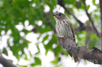 Grey-streaked Flycatcher 斑胸鶲