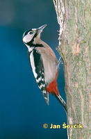 Photo of strakapoud velký, Great Spotted Woodpecker, Dendrocopos major
