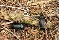 Carabus violaceus - Violet ground beetle