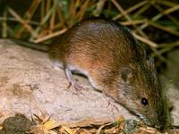 Image of: Apodemus agrarius (striped field mouse)