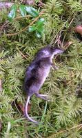 Image of: Sorex araneus (Eurasian shrew)