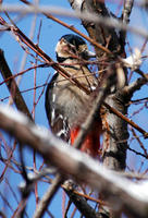 Image of: Dendrocopos major (great spotted woodpecker)