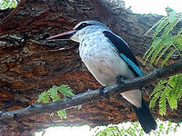 Image of: Halcyon senegalensis (woodland kingfisher)