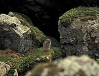 Microtus miurus - Singing Vole