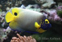 Pomacanthus xanthometopon - Blue-face Angelfish