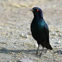 Red-shouldered Glossy-starling (Lamprotornis nitens)