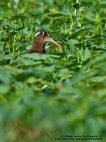 Greater Painted-snipe Rostratula benghalensis
