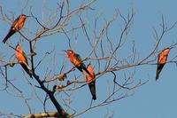 rosy bee eaters