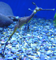 : Phyllopteryx taeniolatus; Weedy Sea Dragon