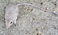 : Perognathus longimembris; Little Pocket Mouse