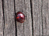 Chilocorus bipustulatus - Heather Ladybird