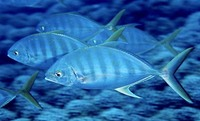 Carangoides ferdau, Blue trevally: fisheries, gamefish