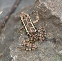 Image of: Rana palustris (pickerel frog)