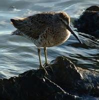 Image of: Limnodromus griseus (short-billed dowitcher)