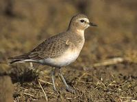 Mountain Plover (Charadrius montanus) photo