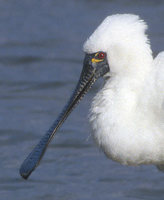 Black-faced Spoonbill (Platalea minor) photo