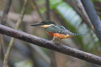 Green-and-rufous Kingfisher - Chloroceryle inda