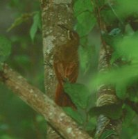 Moustached Woodcreeper - Xiphocolaptes falcirostris