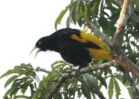 Yellow-rumped Cacique - Cacicus cela