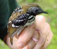 Spot-backed antbird, male in Suriname